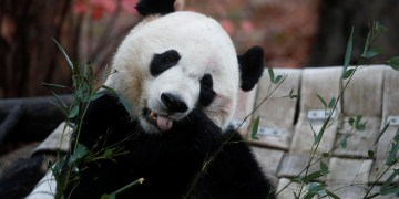 Bei Bei, Washington's Eligible Bachelor Panda, Heads to China