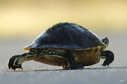 In this Wednesday, Oct. 30, 2019 photo, a Florida red-bellied turtle crosses a park road in Everglades National Park, near