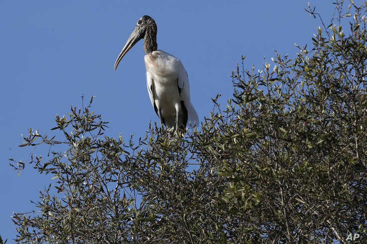 In this Tuesday, Oct. 29, 2019, photo, a wood stork sits on a treetop near Fort Myers, Fla. The species has been down listed