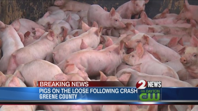 Image result for Pigs on the Loose