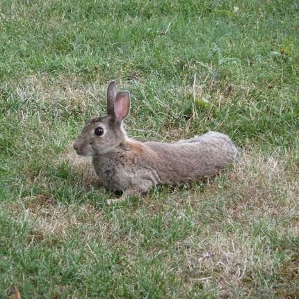 Il coniglio europeo è in via di estinzione foto