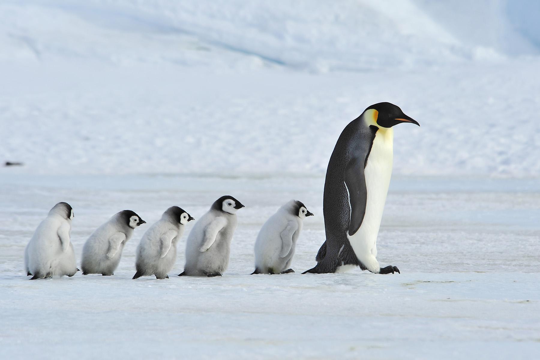 Emperor Penguins Of Antarctica Photography Tour Wild Images