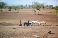 Massajer med kor, Tanzania