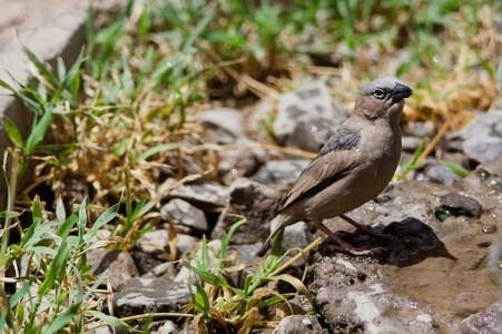 Liten pippi, Tanzania