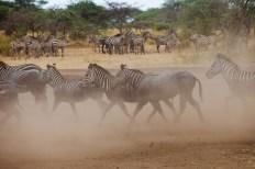Zebror i damm, Tanzania