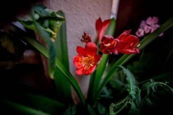 Missade blommningen av min lilja.