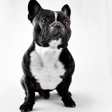 Valter Wistbacka - Fransk Bulldog