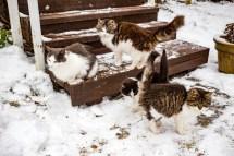 Kattungarna har vuxit upp. Två av de här lekte på trappen i sommras. En av dem har fått bli lite innerkatt.