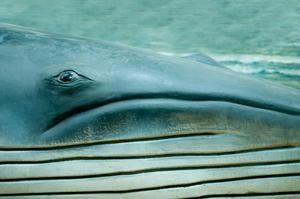 Ballena azul: imponente tamaño (iStockphoto)
