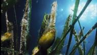 Ein ausschließlich im Mittelmeer vorkommendes Neptungras. Es wächst sehr langsam, kann sich klonen und alt wie ein Stein werden.