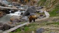 Wildes Tier auf Abwegen: ein Bär in der Vulkanregion von Kamtschatka, allerdings in deutlich zivilisierterer Umgebung und Manier als sein Artgenosse, der Nastassja Martin anfiel