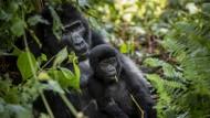 Ein Berggorilla und sein Junges im Bwindi Impenetrable Nationalpark