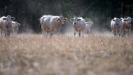 Stehen auch im Fokus der Debatte: Kühe als Nahrungsmittel, hier in Sachsen