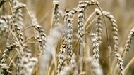 Reife Weizenähren sind schwer. Kurze, stabile Halme sind notwendig, vor allem wenn das Wetter rauher wird.