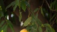 """Prächtige Objekte: In Indien allgegenwärtige Pflanzen, wie der Mangobaum und seine Früchte, sind der ständige Begleiter des Erzählers im Roman """"Der Garten meiner Mutter""""."""