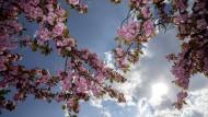 Auch in Deutschland bringen die Kirschbäume schöne Blüten hervor, wie hier in Berlin.