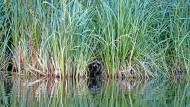 Auch an der Schlaube gibt es eine exotische Tierwelt: Dieser Waschbär scheint sich zwischen den Schilfhalmen wohl zu fühlen.