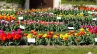 Unerschöpfliche Farbenvielfalt: Jetzt ist Gönningen wieder ein einziges Blütenmeer.