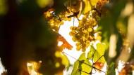 Die Trauben hängen und das nicht zu hoch: Ein Weinlehrpfad erläutert Hintergründe zum Weinbau an der Bergstraße.