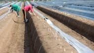 2018 wurden laut Statistischen Bundesamt 129.600 Tonnen Spargel in Deutschland geerntet.