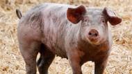 Ein Ruhrtaler Freilandschwein steht in seinem Freigehege.