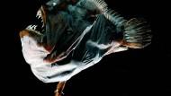 Ein weiblicher Schwarzangler-Fisch, Melanocetus johnsonii, der etwa sieben Zentimeter misst. Das nicht einmal zweieinhalb Zentimeter lange Männchen haftet am Bauch des Weibchens.