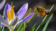 Ohne ihr Mikobiom könnten Honigbienen nicht überleben.