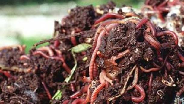 Am Hering sind Würmer