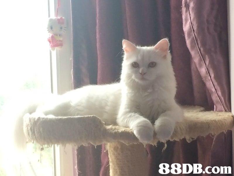 土耳其安哥拉貓 - 純種安哥拉貓BB - 香港寵物資訊 - 88DB服務平臺