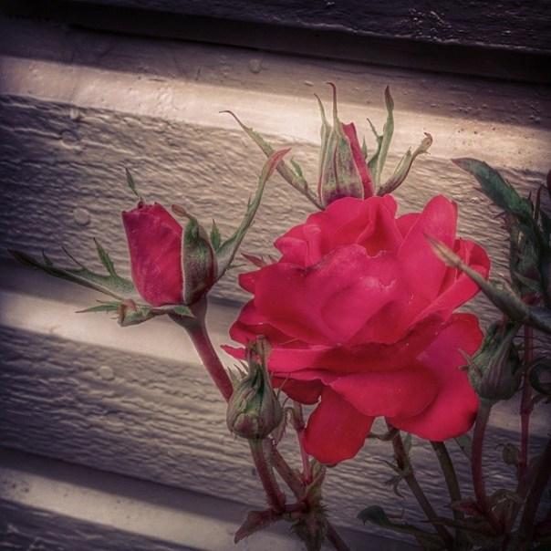 #flowers #flower #TagsForLikes #petal #petals #nature #beautiful #love #pretty #plants #blossom #sopretty #spring #summer #flowerstagram #flowersofinstagram #flowerstyles_gf #flowerslovers #flowerporn #botanical #floral #florals #insta_pick_blossom #flowermagic #instablooms #bloom #blooms #botanical #floweroftheday