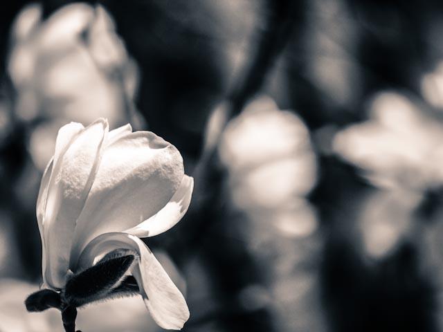magnolia.foto: BelleBlue©Photo