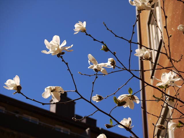 magnolia.foto: BelleBlue©Photo