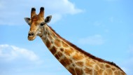 Giraffen sind beliebt und doch erst wenig erforscht – und bedroht
