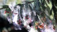 Fichten verbreiten massenweise Pollen, für Allergiker sind die aber meist harmlos.