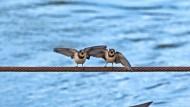 Vögel wissen vielleicht nicht alles; aber sie wissen etwas, was wir nicht wissen: zwei Schwalbenjunge auf einem Drahtseil über der Donau in Regensburg