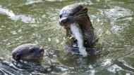 Verspielt wie ein Otter: Die neue Studie zeigt, dass Spermien sich während der Fortbewegung drehen.