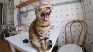 Hauskatzen waren schon in früheren Epidemien ansteckungsgefährdet.