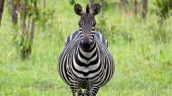 Weiß auf schwarz: Die Streifen sollen die Feinde des Zebras verwirren.