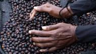 Heiß begehrt auf der ganzen Welt: Kaffeebohnen, hier der Sorte Arabica.