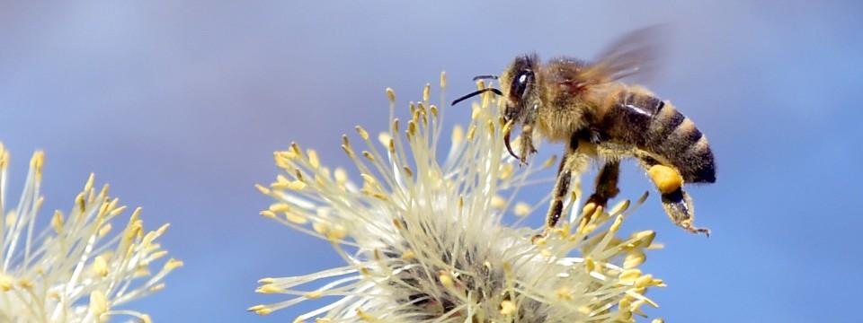 In ihrem Bestand bedroht: Mehr als die Hälfte aller heimischen Bienenarten stehen auf der Roten Liste.