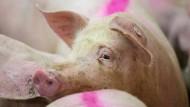 Ein markiertes Schwein in einem Stall (Bild von 2016)
