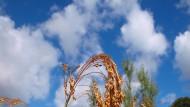 Die Rispenhirse ist ein eher anspruchsloses Getreide.