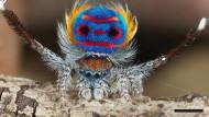 Eine männliche Pfauenspinne der Art Maratus speciosus präsentiert bei der Balz den auffällig gefärbten Hinterleib.