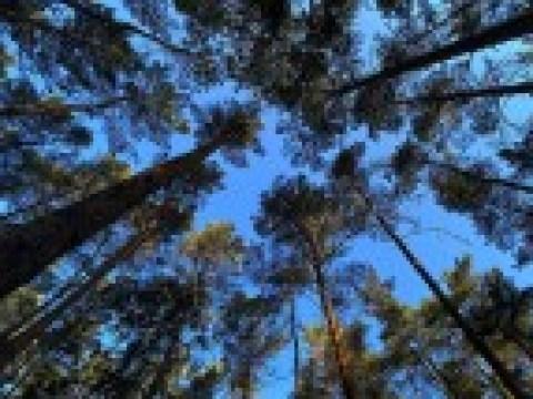 Waren bedecktsamige Pflanzen schuld am Niedergang der Nadelholzgewächse?