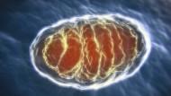 Mitochondrien erzeugen ATP und versorgen die Zelle so mit Energie,