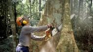 Ein Holzfäller arbeitet mit einer Kettensäge im Regenwald des Amazonas in Brasilien an einem Urwaldriesen.