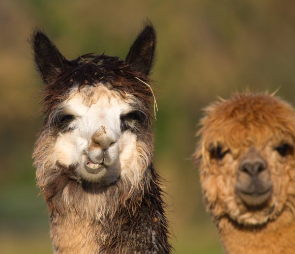 Funny Llama Pictures POPSUGAR Celebrity Australia