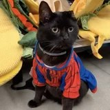 This Cat Proprietor's Commentary Whereas Her Kitty Tries on Halloween Costumes Is Purrrrfection