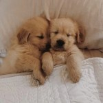 See These Adorable Photos Of Golden Retriever Puppies Popsugar Pets