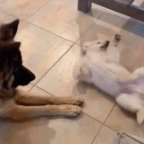 My Heart Is Swelling From Watching This German Shepherd Meet a Puppy For the First Time